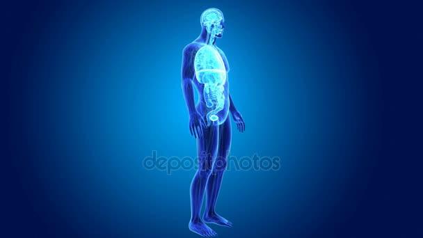 3D orgánů s anatomie