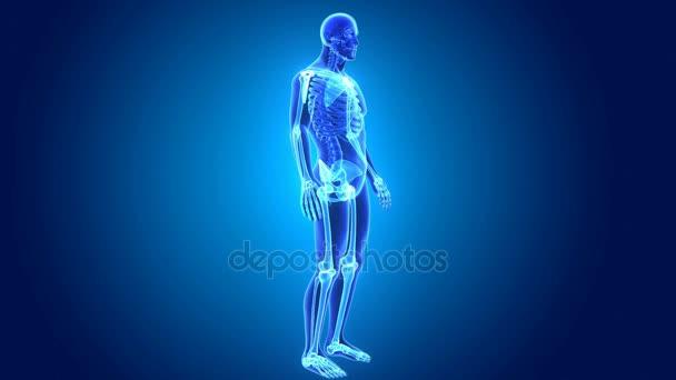 3D scheletro appendicolare
