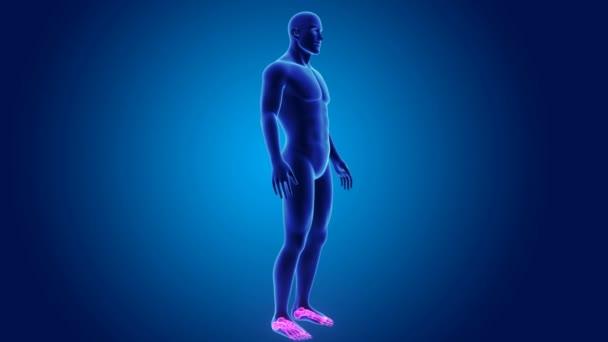 3D hlezna a nohy s tělem
