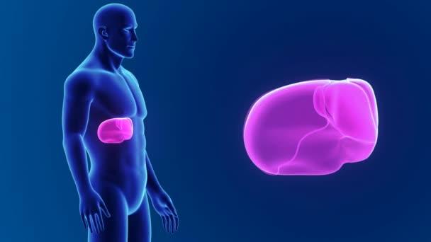 Male Liver Anatomy Stock Video Sciencepics 153344866