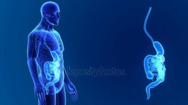 Stomach and Intestine zoom with organs