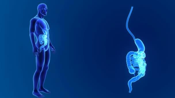 Žaludek a střeva zoom s orgány