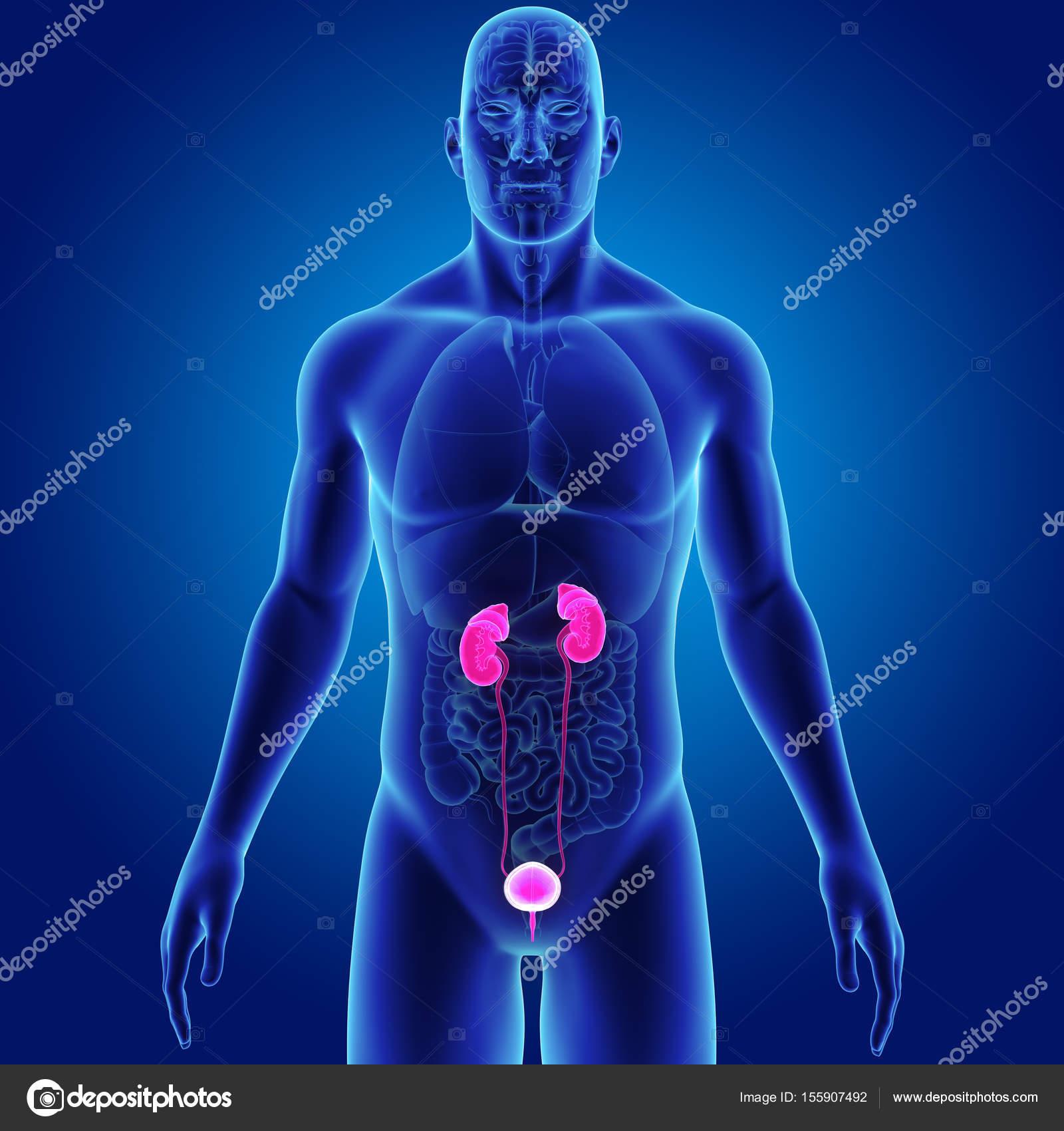 Sistema urinario con órganos — Fotos de Stock © sciencepics #155907492