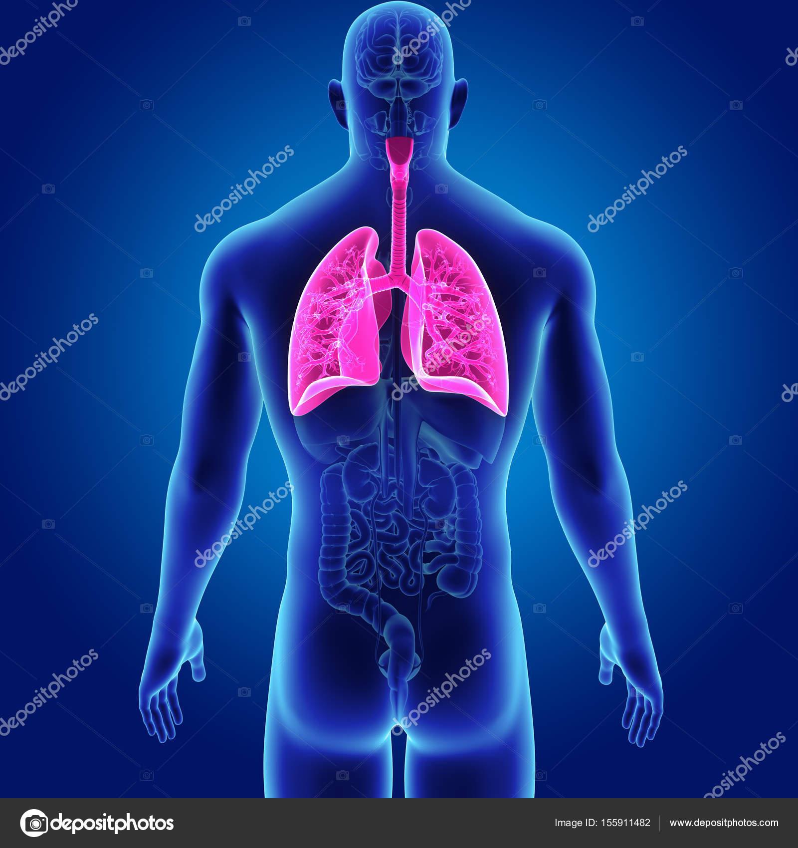 Pulmones con vista posterior de los órganos — Foto de stock ...