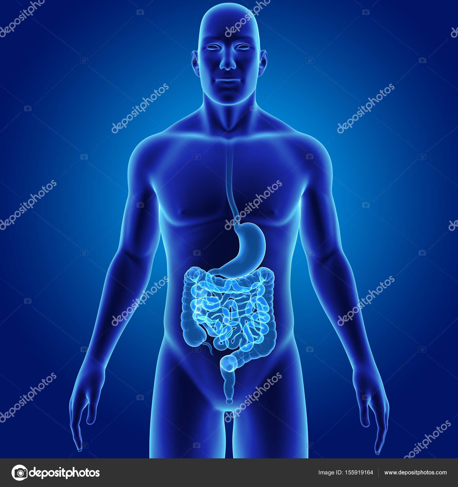 Estómago y el intestino con el cuerpo — Foto de stock © sciencepics ...