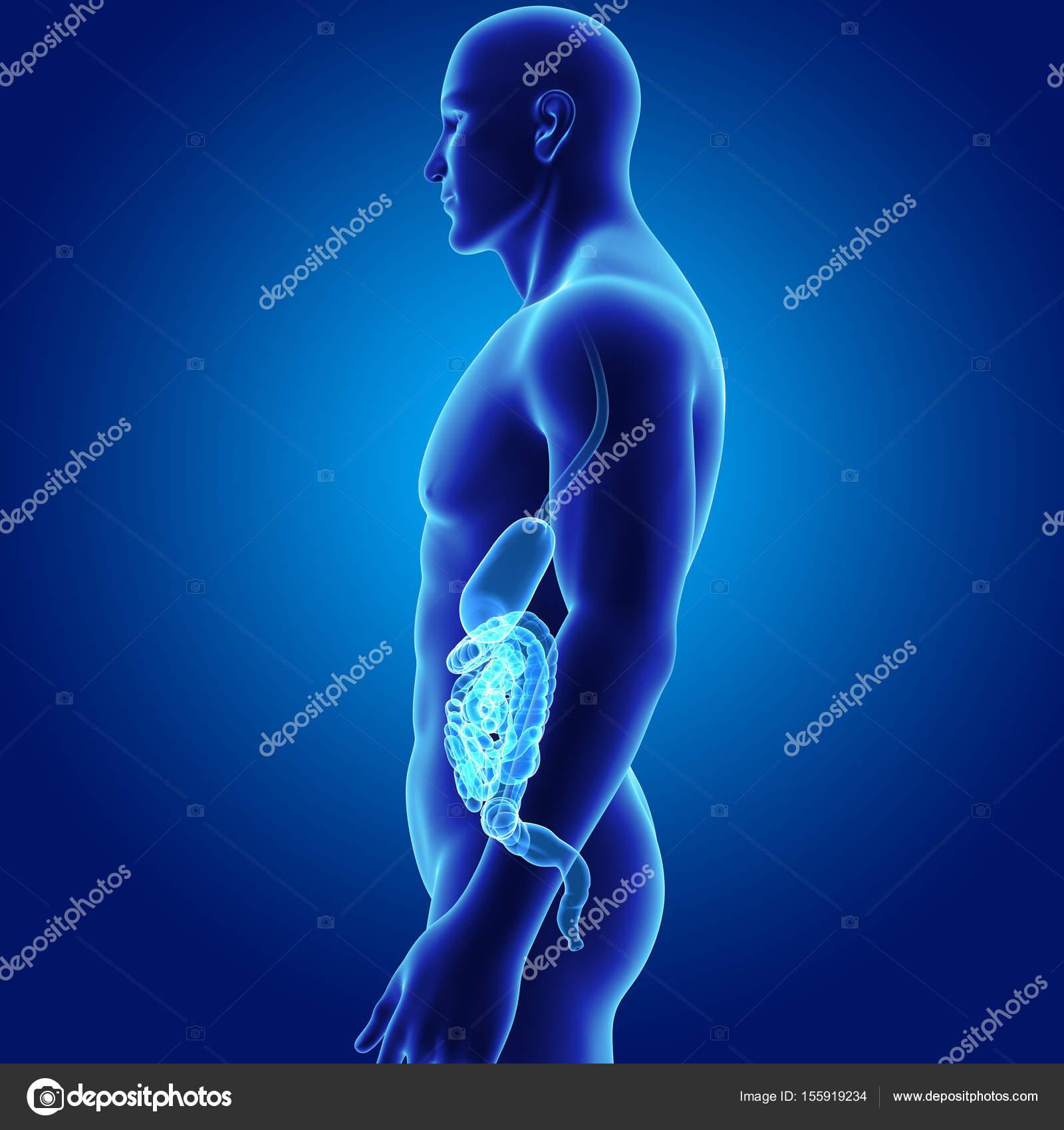 Estómago y el intestino con el cuerpo — Fotos de Stock © sciencepics ...