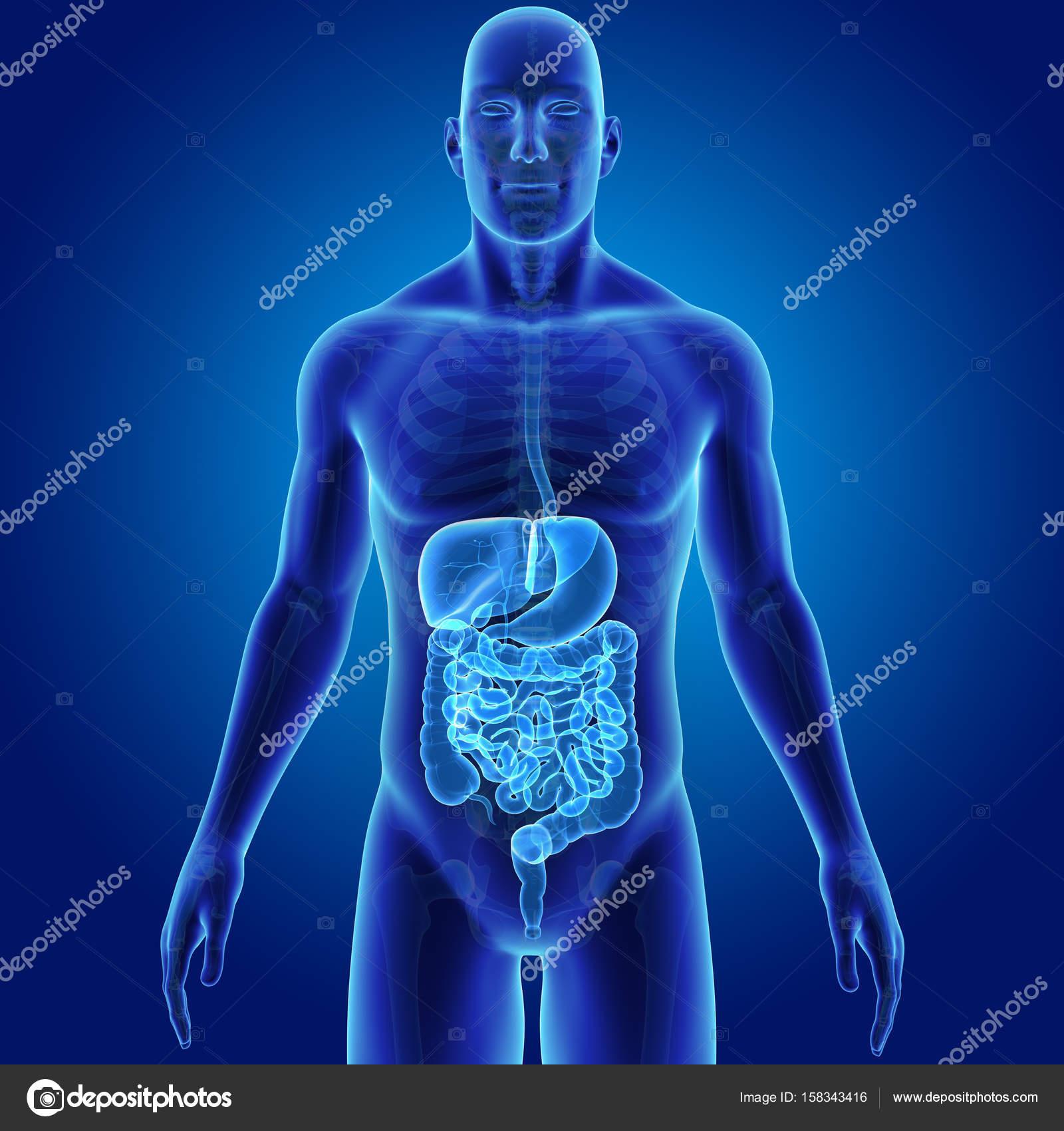 Verdauungssystem mit Skelett — Stockfoto © sciencepics #158343416