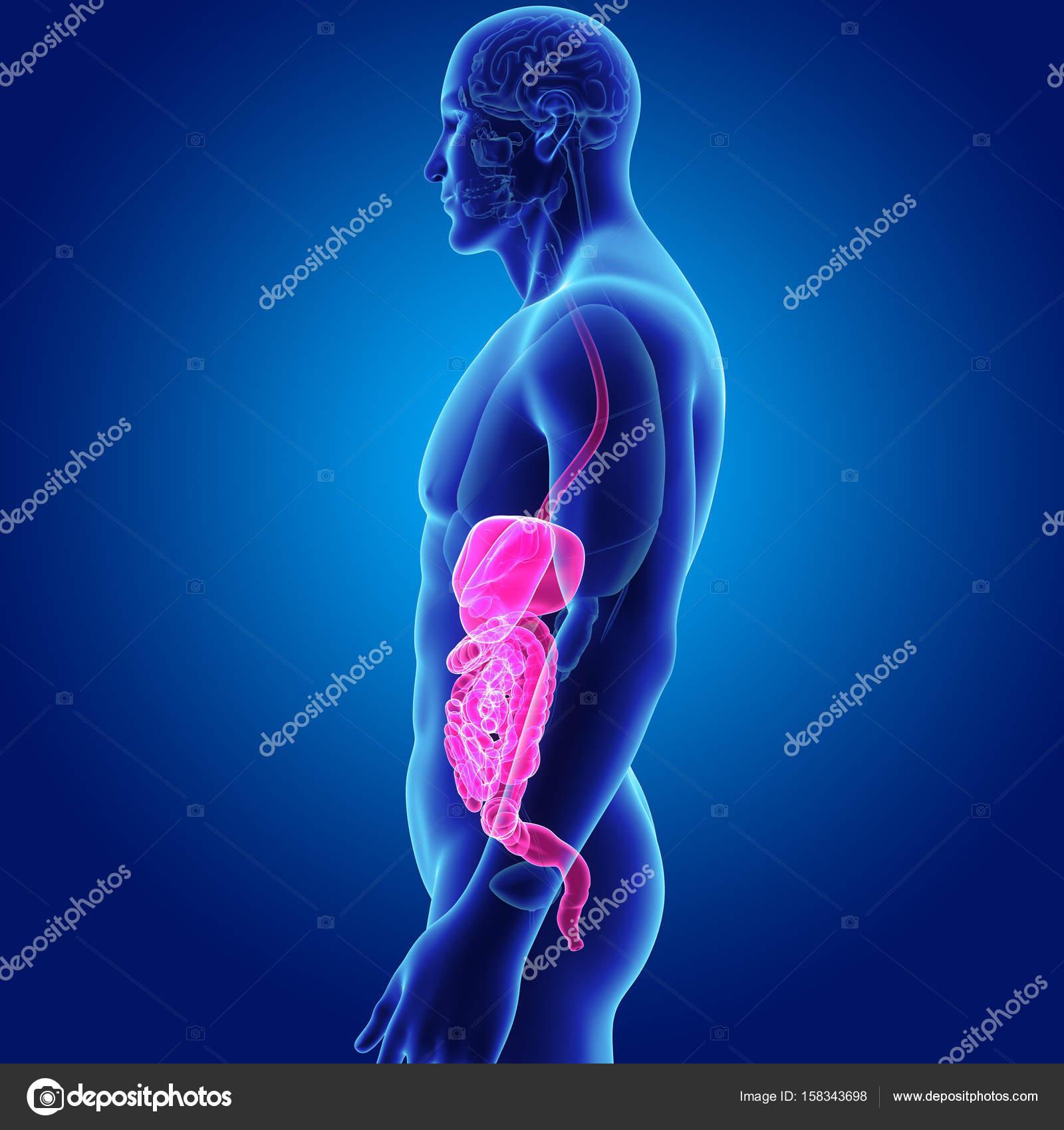 Verdauungssystem mit Organen — Stockfoto © sciencepics #158343698