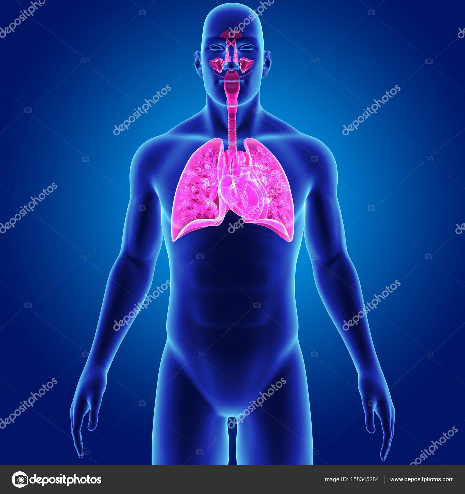 Pulmones y el corazón con el cuerpo — Fotos de Stock © sciencepics ...