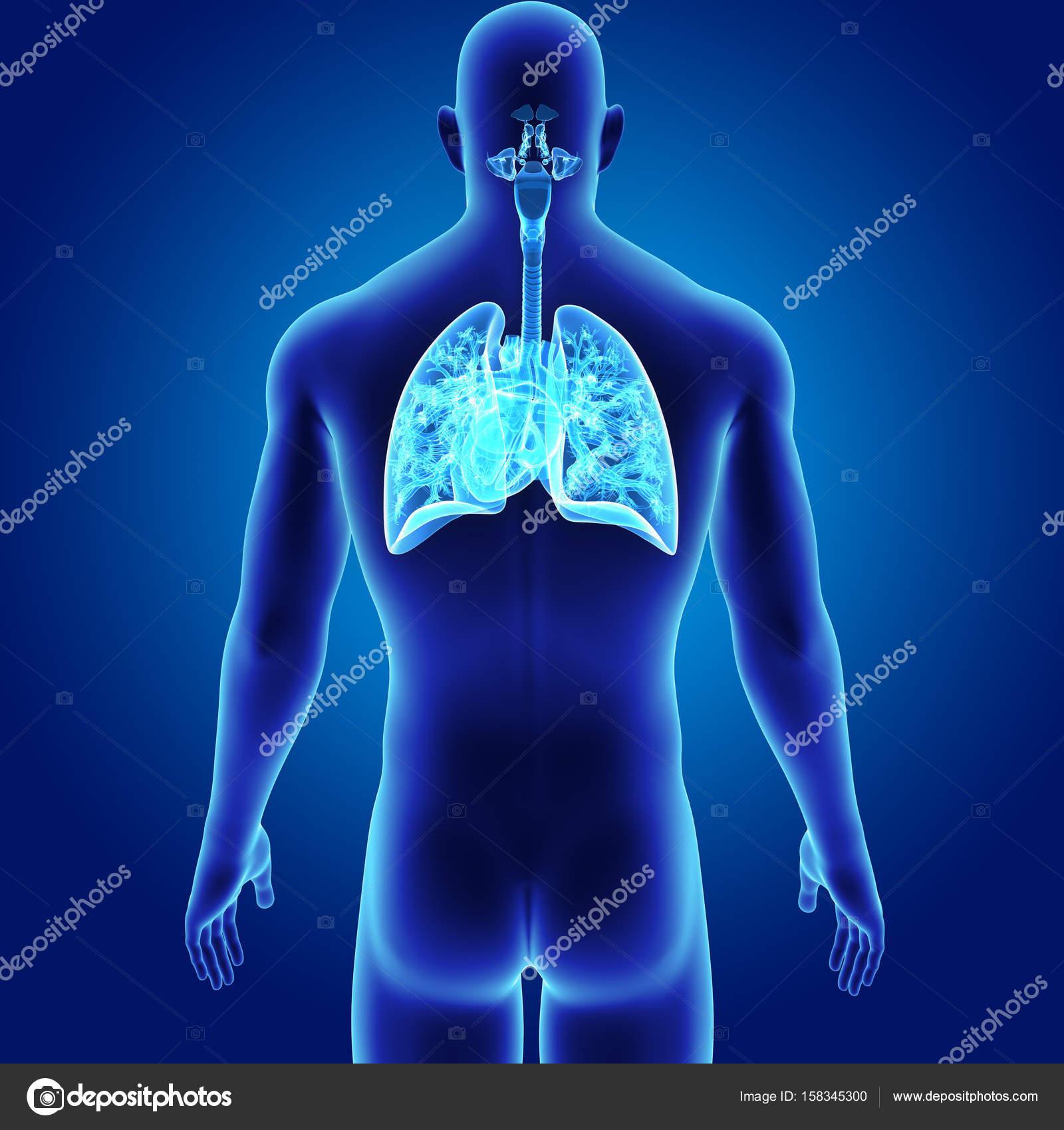 Pulmones y el corazón con el cuerpo — Foto de stock © sciencepics ...
