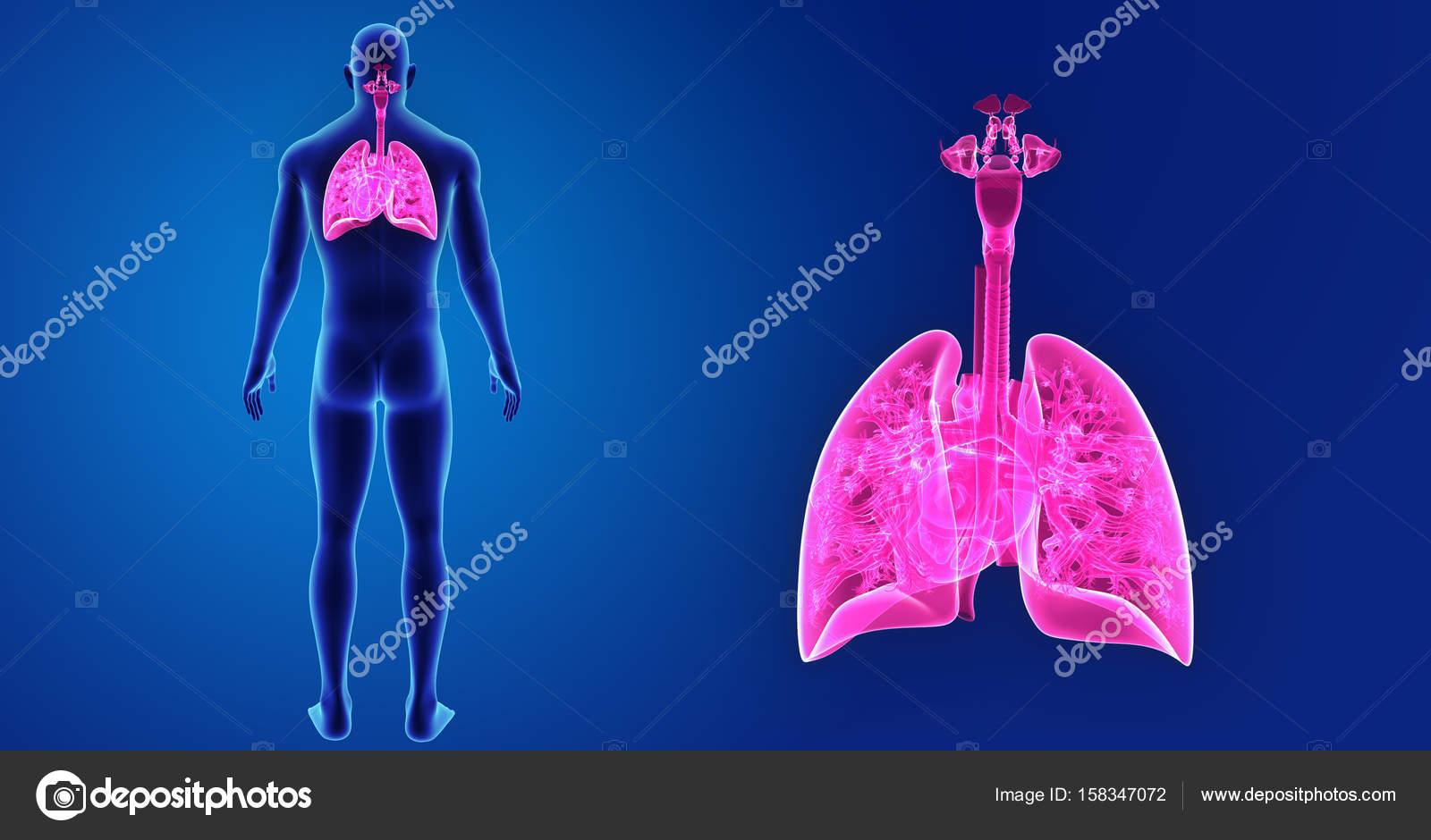 Lungen und Herz Zoom mit Körper — Stockfoto © sciencepics #158347072