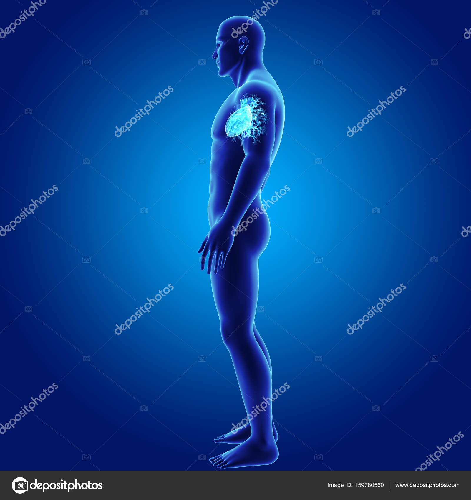 Corazón con vista lateral del cuerpo — Foto de stock © sciencepics ...