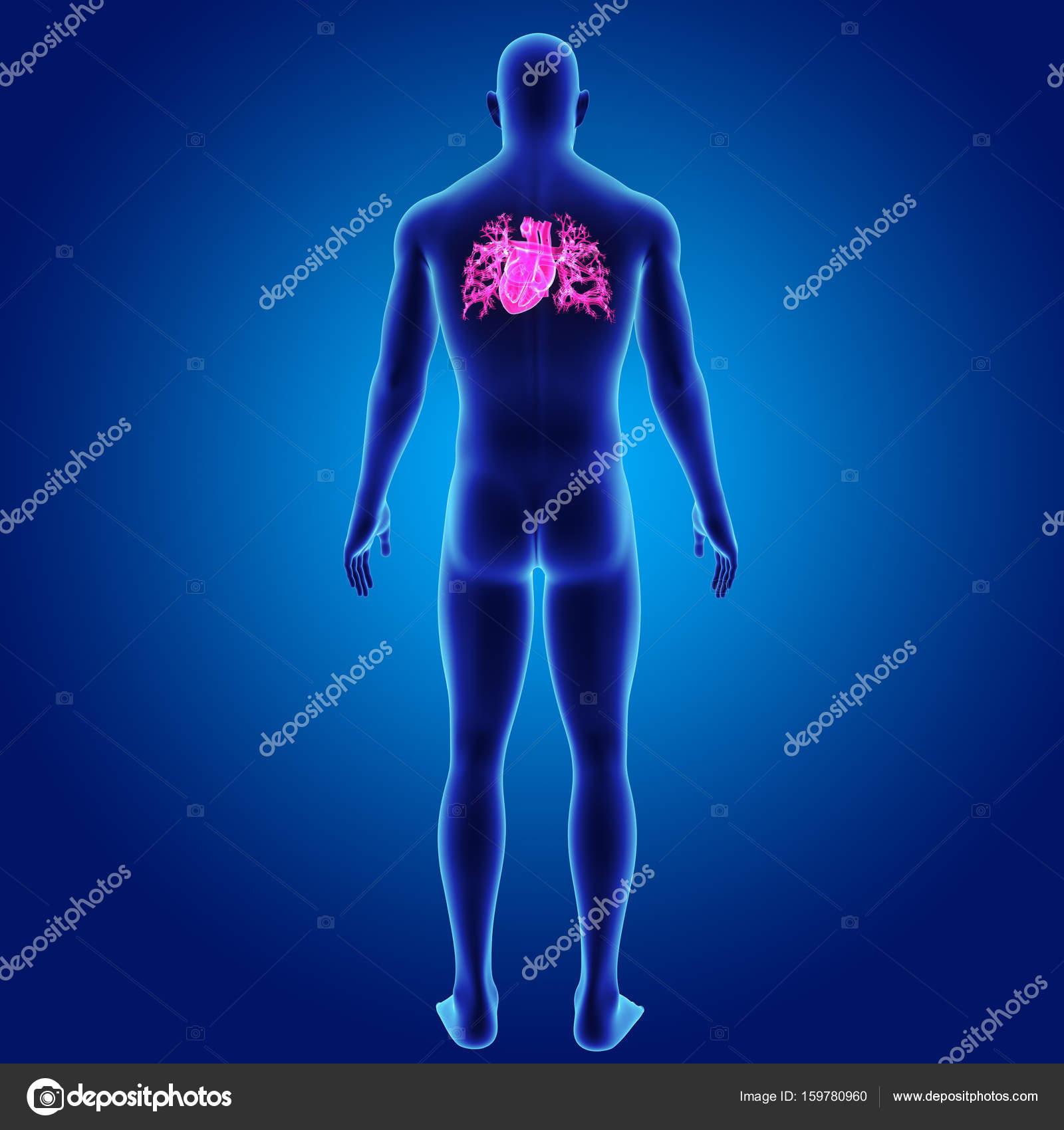 Corazón con vista posterior del cuerpo — Foto de stock © sciencepics ...