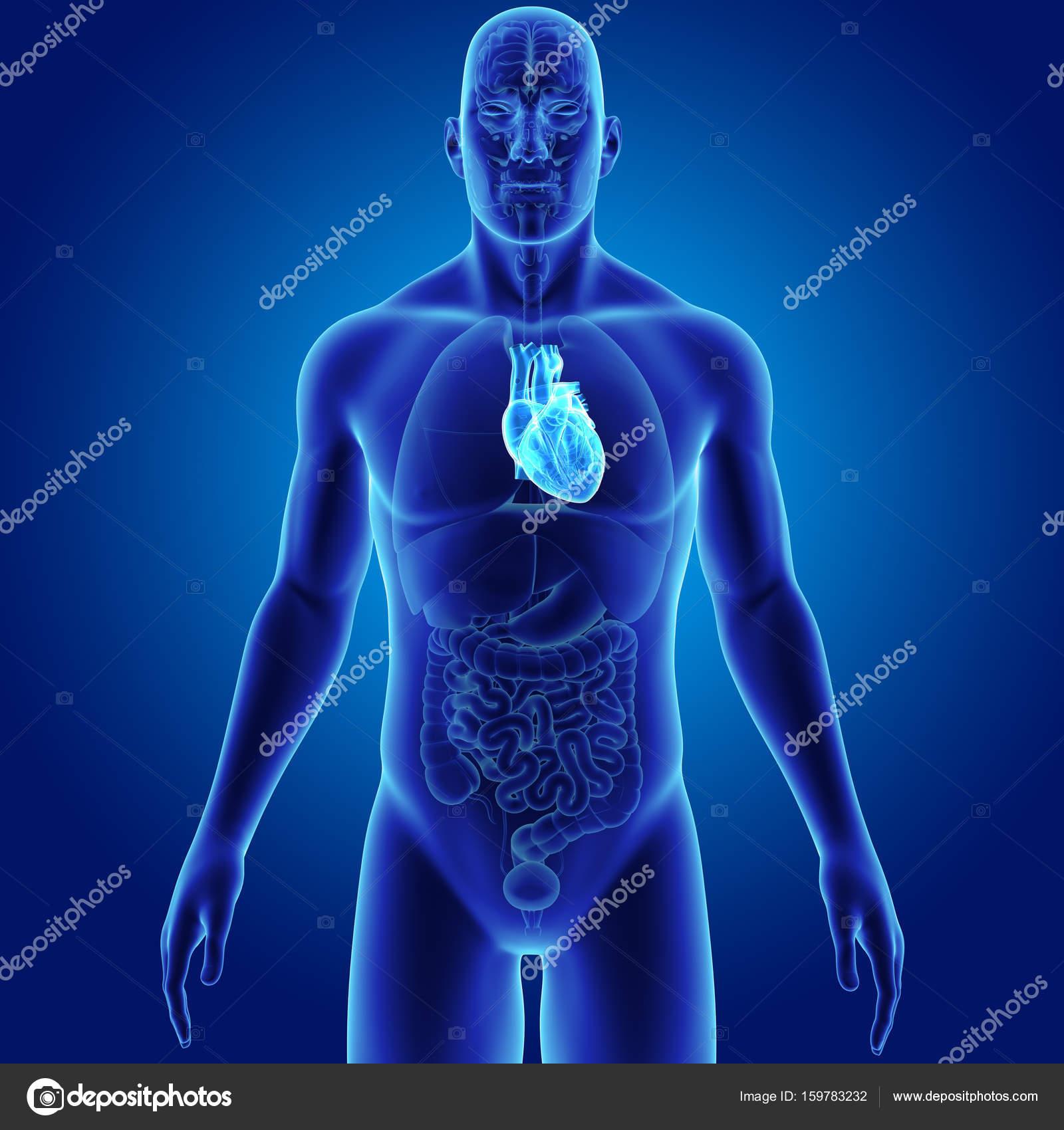 Corazón con vista anterior de órganos — Fotos de Stock © sciencepics ...