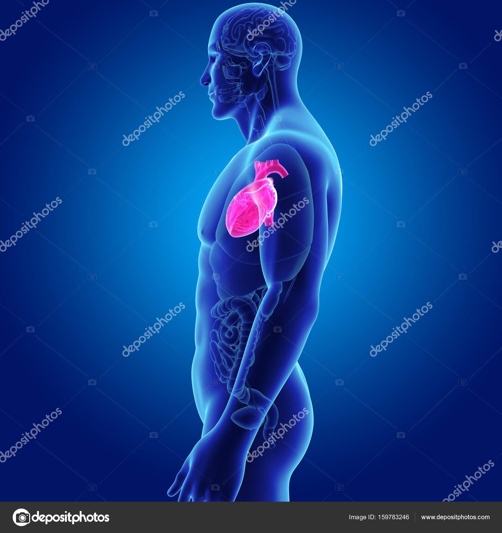 Corazón con vista lateral de órganos — Foto de stock © sciencepics ...