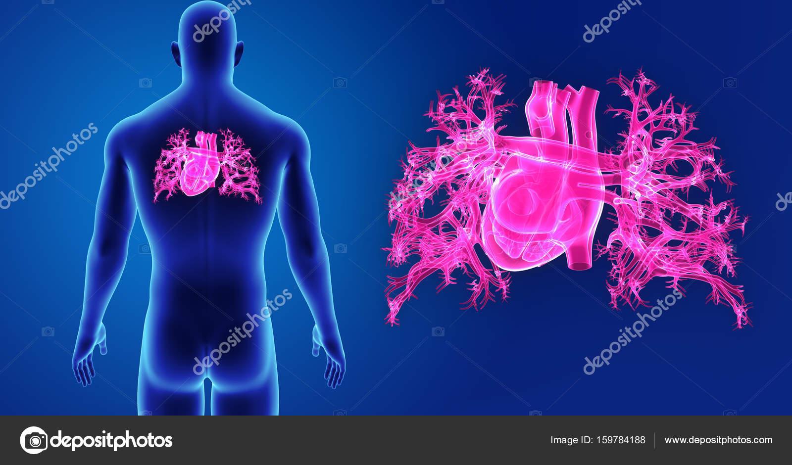 Zoom de corazón con vista posterior del cuerpo — Fotos de Stock ...