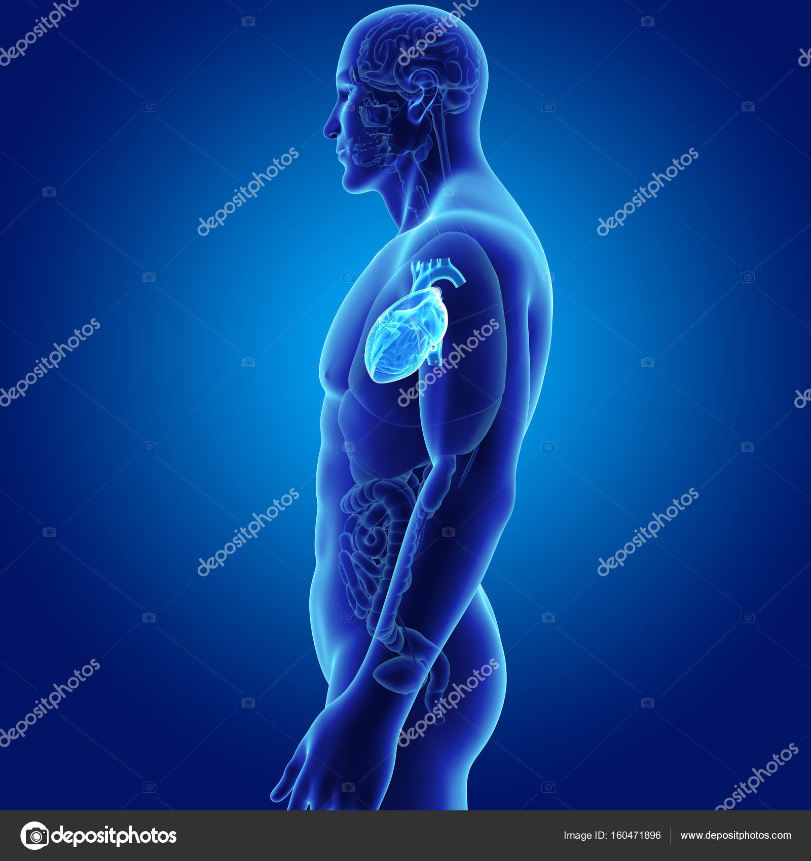 Corazón con vista lateral de órganos — Fotos de Stock © sciencepics ...