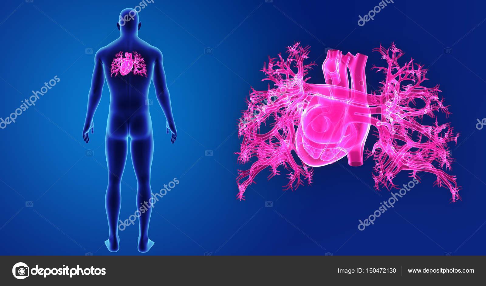 Zoom de corazón con el cuerpo — Foto de stock © sciencepics #160472130