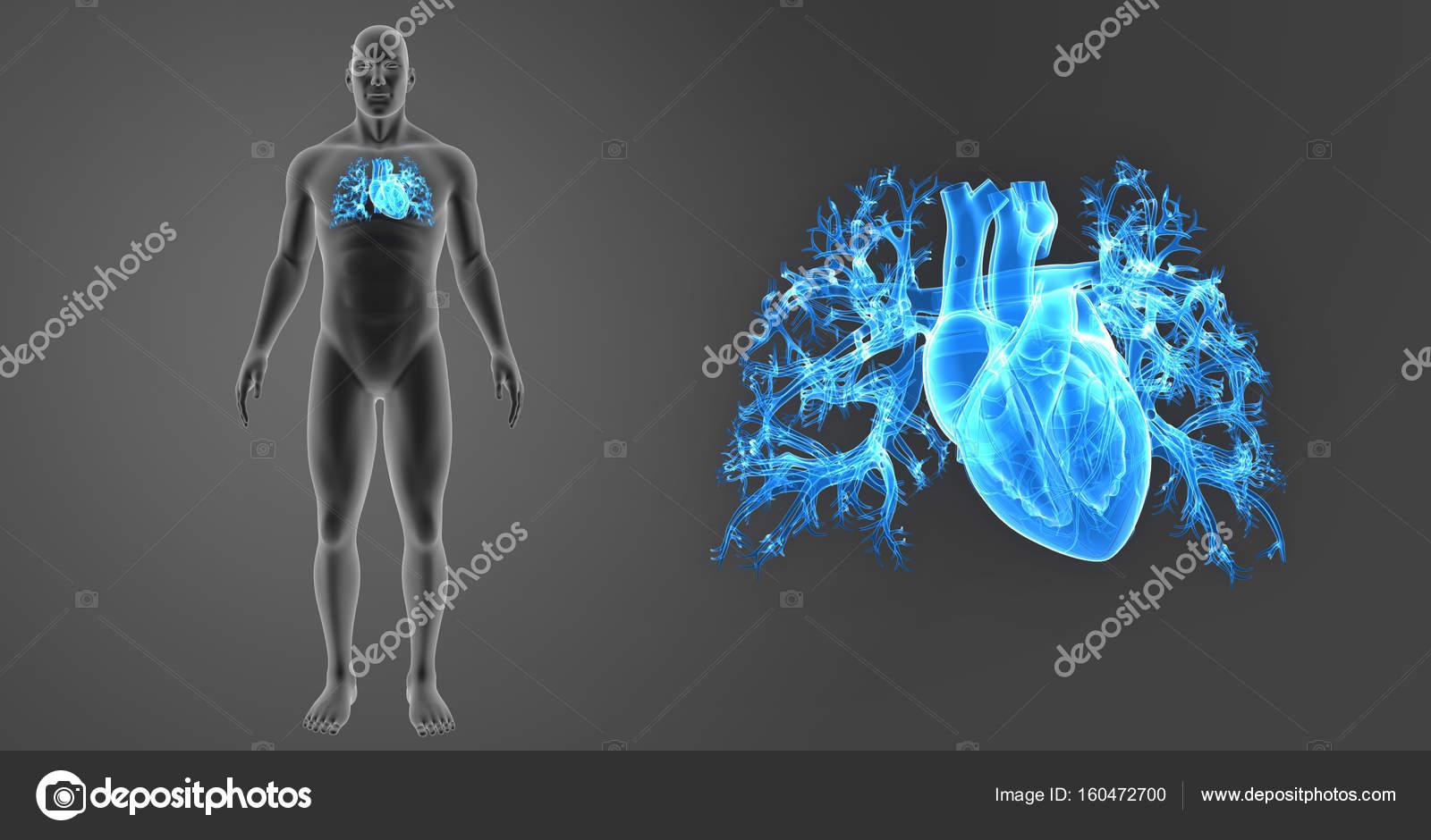 Zoom de corazón con el cuerpo — Fotos de Stock © sciencepics #160472700