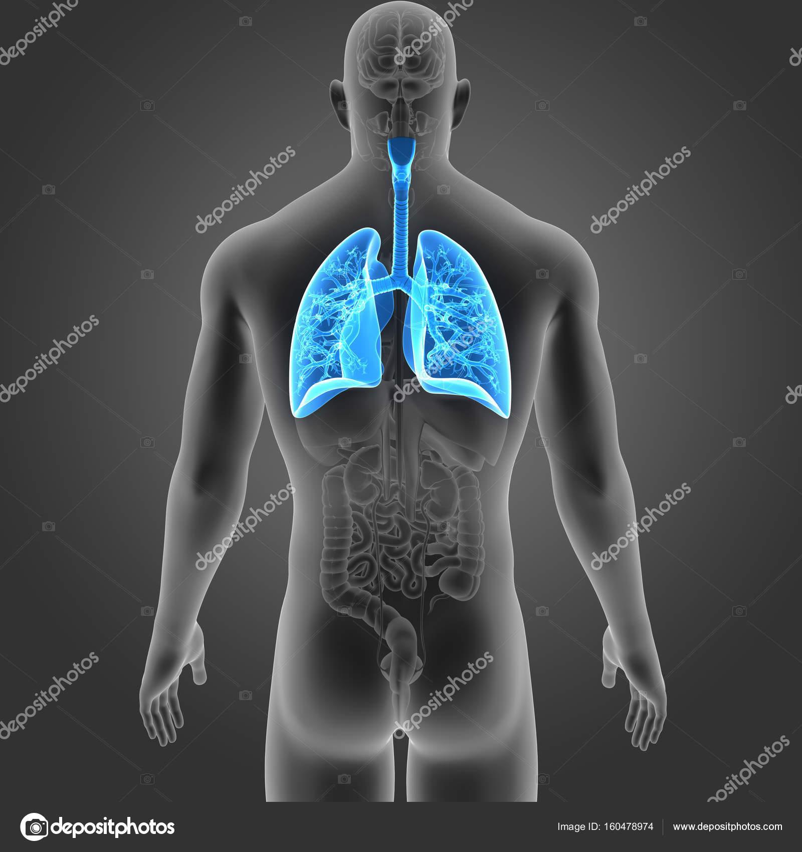 Pulmones con vista posterior de los órganos — Fotos de Stock ...