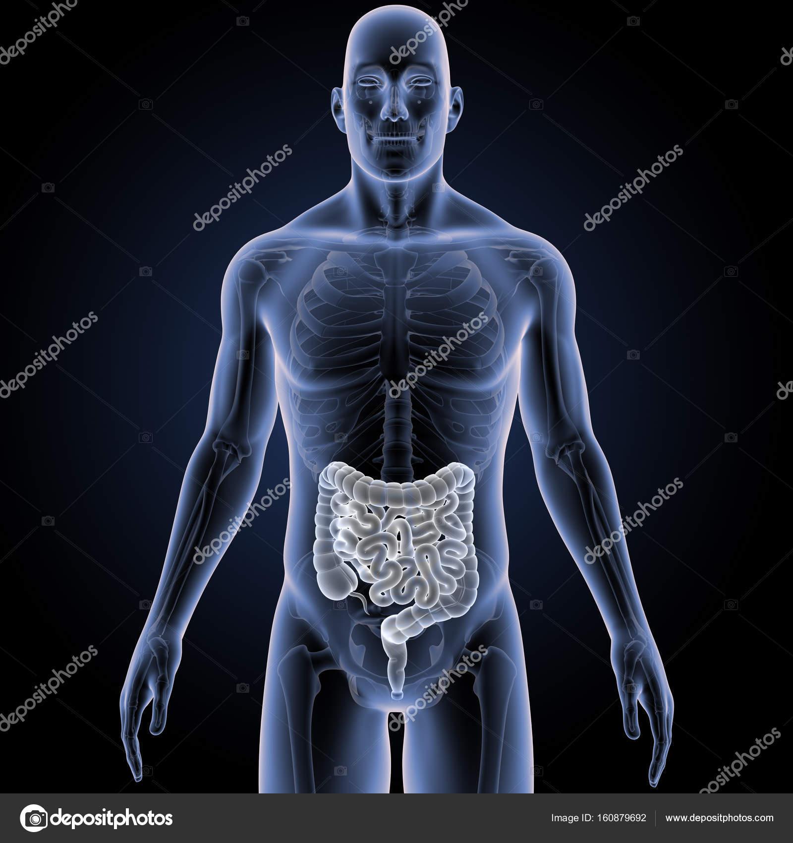 Intestino con esqueleto vista anterior — Foto de stock © sciencepics ...