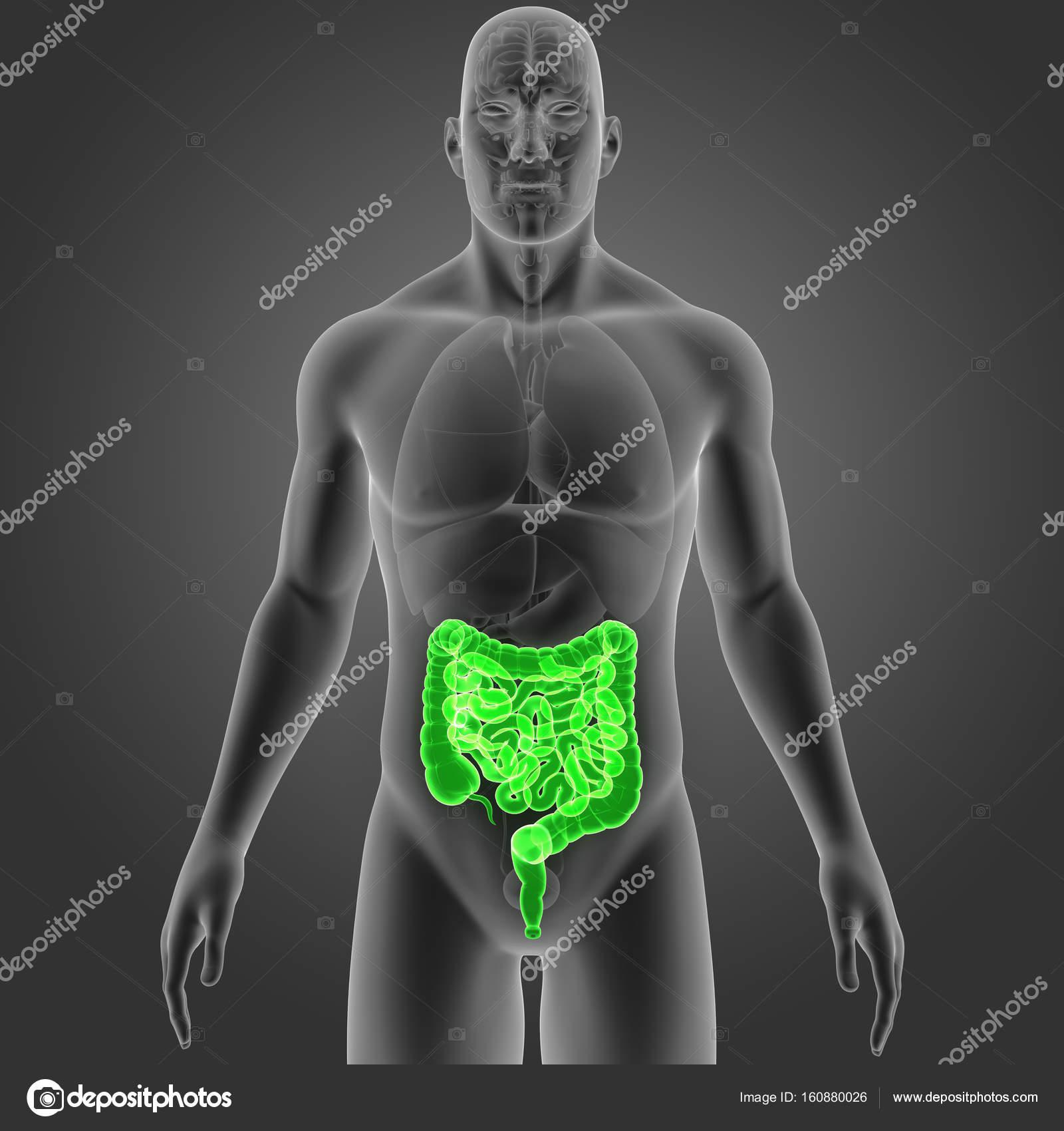 Intestino con vista anterior de órganos — Foto de stock ...