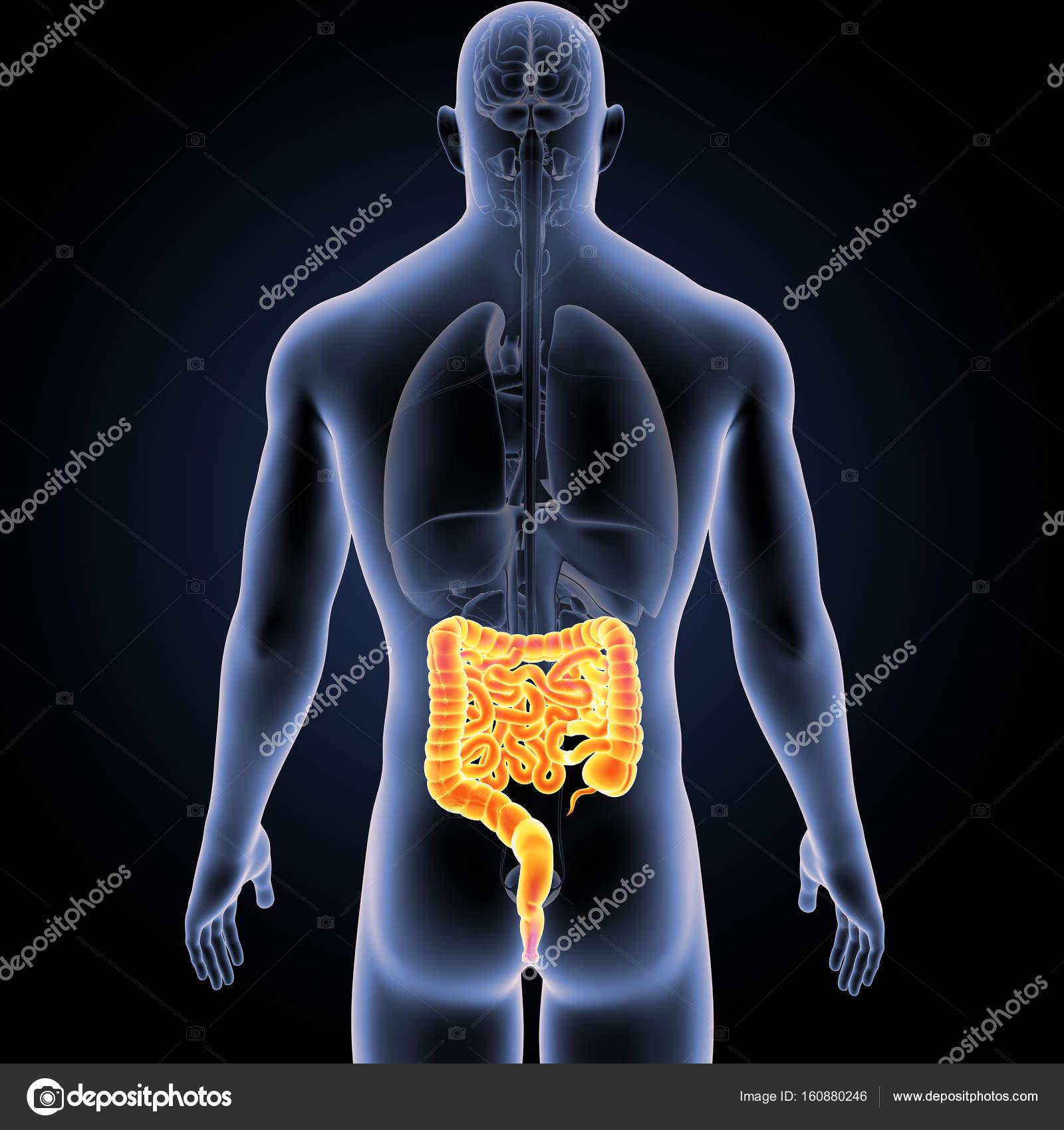 Intestino con vista posterior de los órganos — Foto de stock ...