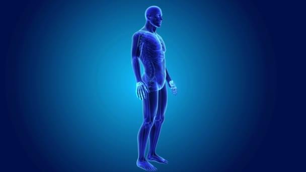 3D huesos de la muñeca con el cuerpo — Vídeos de Stock © sciencepics ...