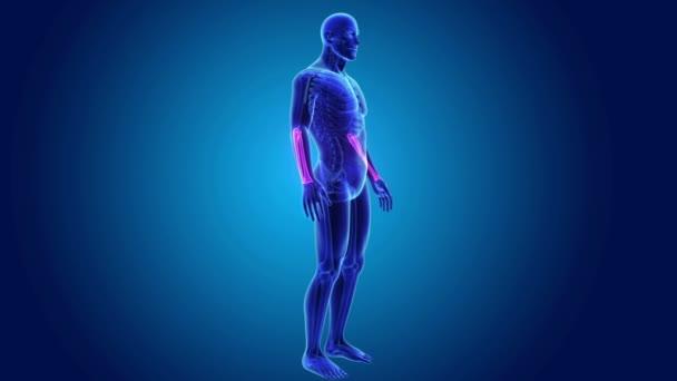 Huesos radio y cúbito con cuerpo de esqueleto — Vídeo de stock ...