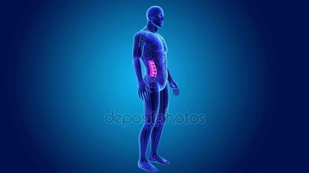 Colonna vertebrale con scheletro corpo
