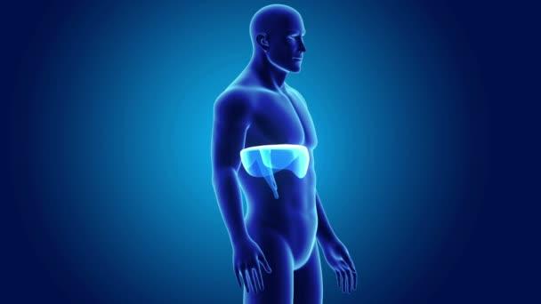 3D membrán, anatómia