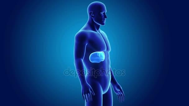 Male Liver Anatomy Stock Video Sciencepics 165922080