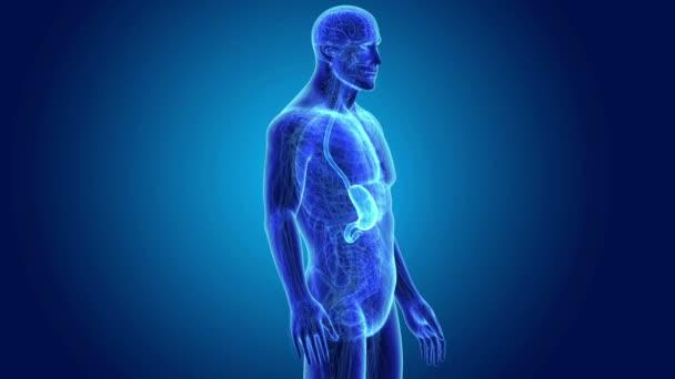 Stomaco e intestino tenue