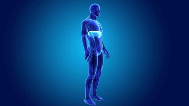 Anatomía diafragma humano — Vídeos de Stock © sciencepics #167320684