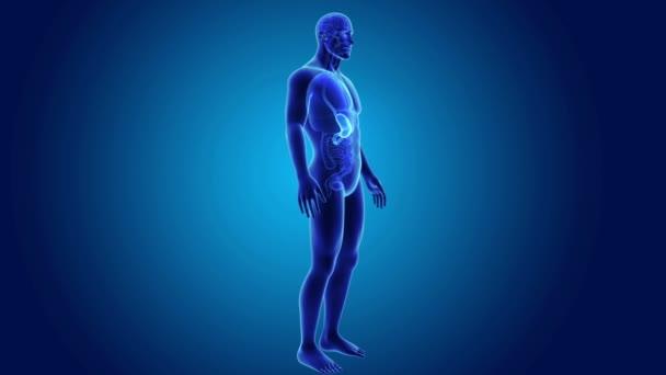 Magen und Dünndarm — Stockvideo © sciencepics #167329770