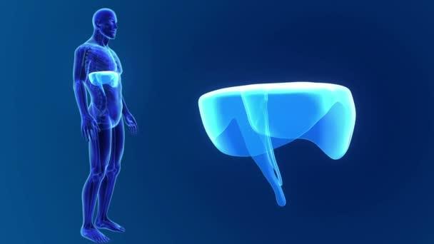 diafragma 3D con anatomía — Vídeos de Stock © sciencepics #167359270