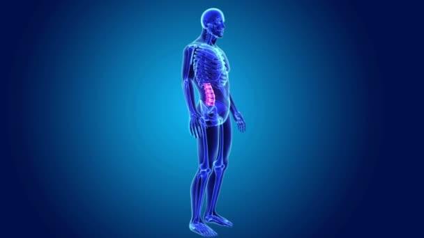Vertebra lombare nel corpo di scheletro