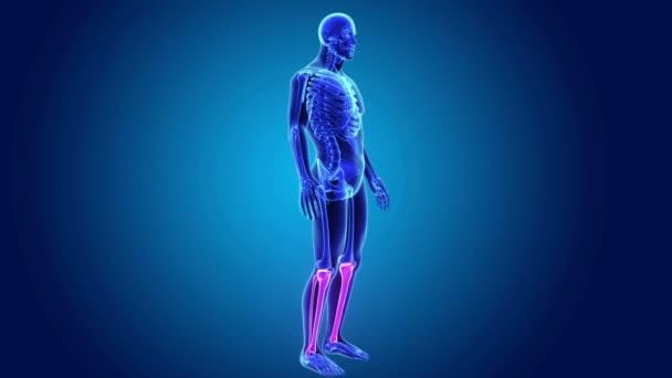 Holenní a lýtková kost v těle kostra