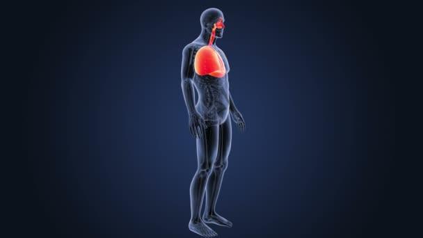 Srdce a plíce s anatomie