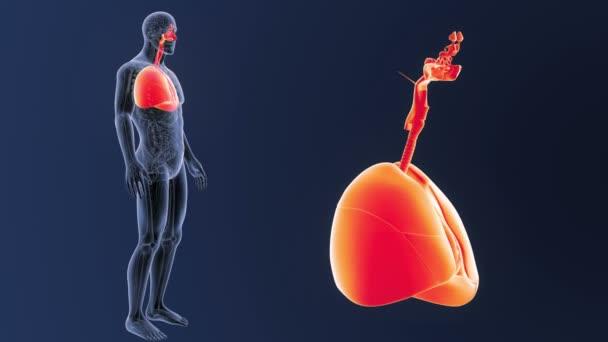 Srdce a plíce zoom s anatomie