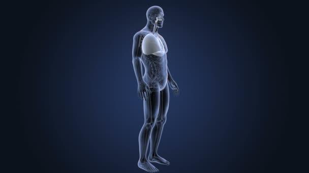 Corazón y los pulmones con anatomía en cuerpo esqueleto — Vídeos de ...