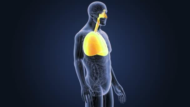 Corazón y los pulmones con anatomía — Vídeo de stock © sciencepics ...