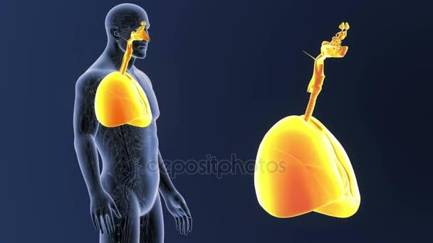 Herz und Lunge Zoom mit Herz-Kreislauf-System — Stockvideo ...