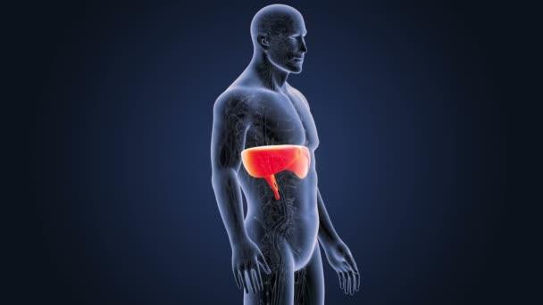 Membran mit Herz-Kreislauf-System im Skelett Körper — Stockvideo ...