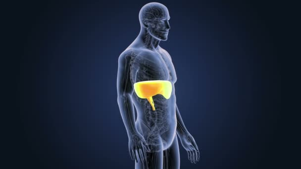 Diafragma con anatomía en cuerpo esqueleto — Vídeo de stock ...
