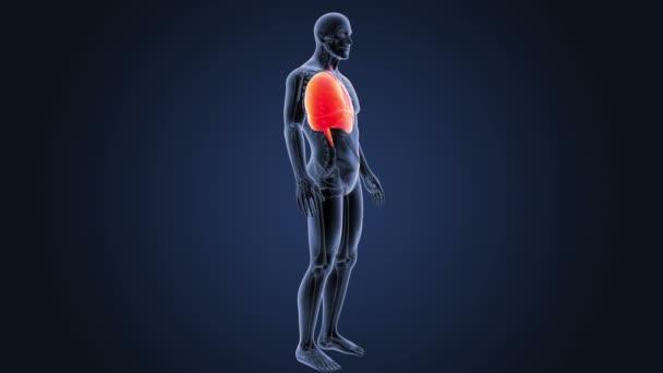 Corazón, pulmones y diafragma en cuerpo esqueleto — Vídeo de stock ...