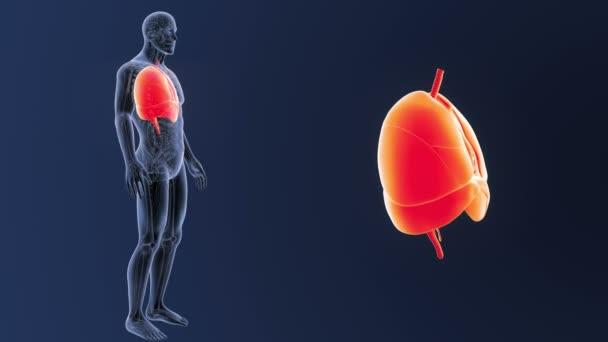 Srdce, plíce a bránice zoom s anatomie