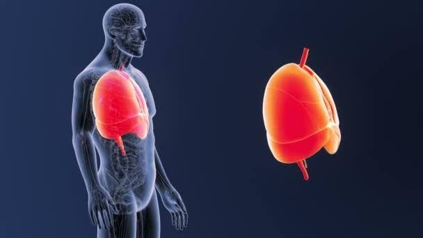 Corazón, pulmones y diafragma zoom con anatomía — Vídeo de stock ...