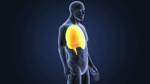 Herz, Lunge und Zwerchfell mit Herz-Kreislauf-System — Stockvideo ...