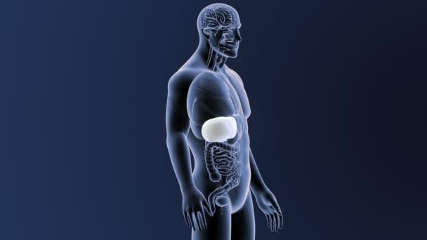 Játra s orgány v těle kostry